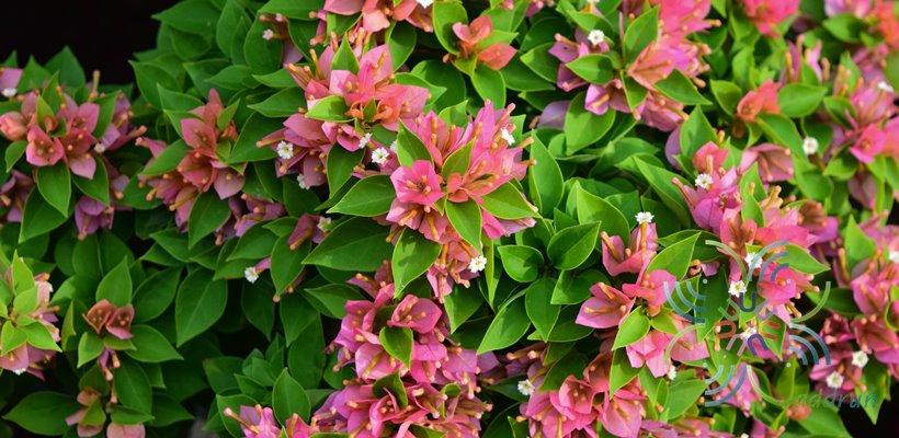 เฟื่องฟ้าสาวิตรี Bougainvillea hybrid