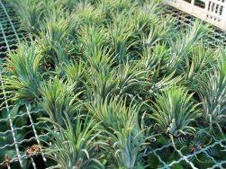 ทิลแลนเซีย #5 (ทิลแอนด์เซีย) Tillandsia ionantha Planch.