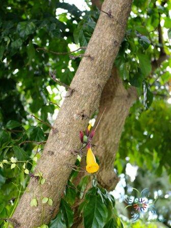 ปีบทอง Radermachera hainanensis Merr.
