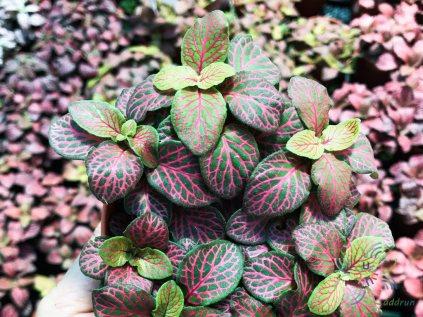 พรมออสเตรเลีย 3 Fittonia albivenis (Lindl. ex Veitch) Brummitt