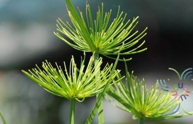 กกอียิปต์แคระ Cyperus haspan L.