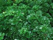 ครุฑผักชี Polyscias guilfoylei (W.Bull) L.H. Bailey 'Quinquefolia'