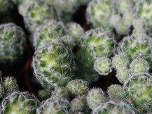 แมมมิลาเรีย กราซิลิส Mammillaria gracilis Pfeiff.