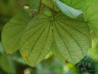 เสี้ยวป่า Bauhinia saccocalyx Pierre