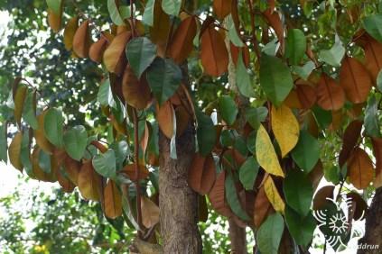 สตาร์แอปเปิ้ล Chrysophyllum cainito L.