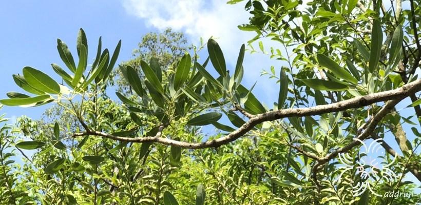 เหลืองปรีดียาธร Roseodendron donnell-smithii (Rose) Miranda