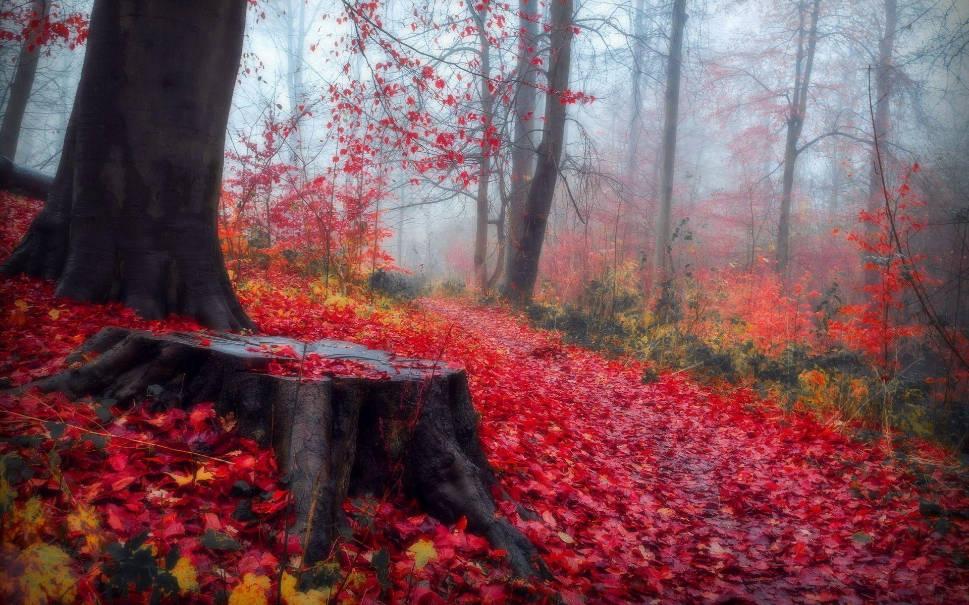 HD Red Leaves In The Autumn Forest Wallpaper Download
