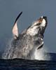 Meno balene del previsto nel Pacifico
