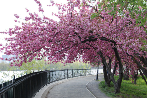 Cherry-blossom-tree-s-in-bloom_large