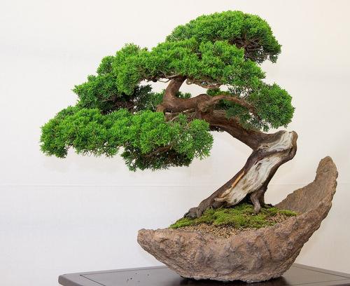 3-bonsai-pillnitz-trees-27_large