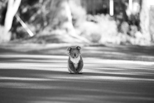 alone koala