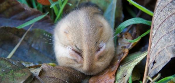 Dormouse sleeping - Tom Chalmers - Tom Chalmers