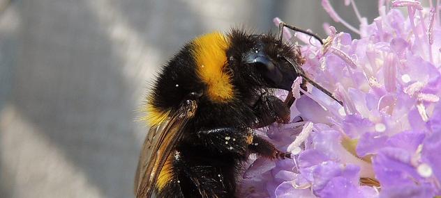 Small garden bumblebee  - Photo by Orangeaurochs