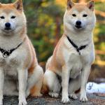 Wallpaper Akita Inu Dog Couple Hd Widescreen High Definition Fullscreen