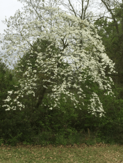 Dogwood tree blooming at Wilroy