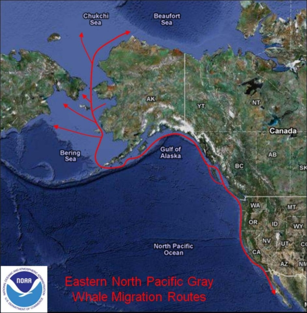 Image of Eastern North Pacific Grey Whale migration route.