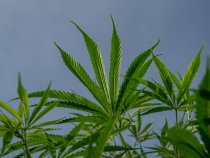 Cannabis and Culture : WIU to dispatch 2nd cannabis-related minor