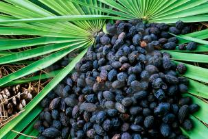 Vitality XL Male Enhancement Ingredients Saw Palmetto Fruit Extract