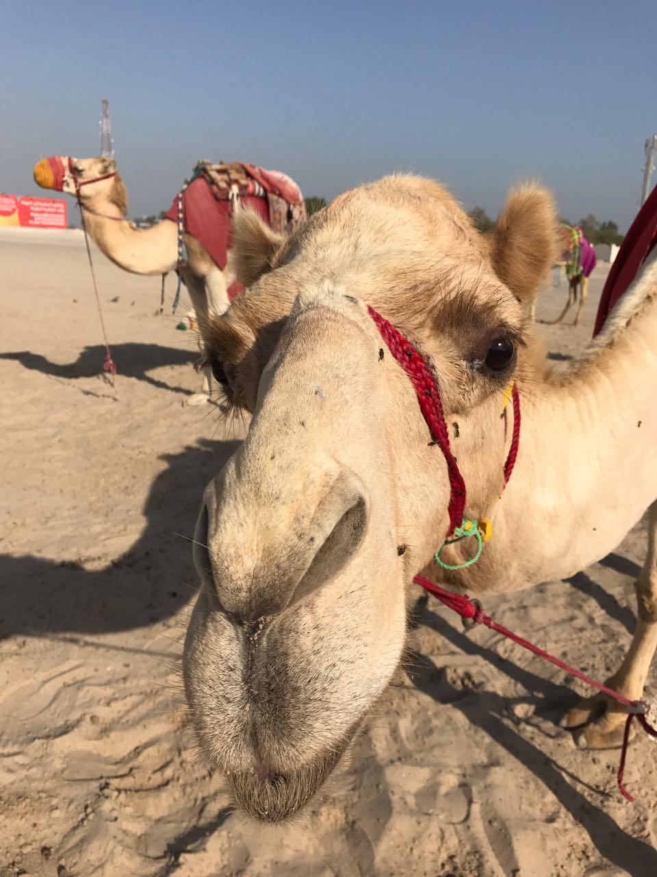 La cría de camellos es parte de la cultura local.