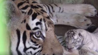 Tigres Indonesia