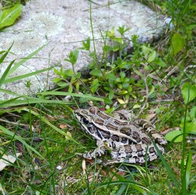 The Pickerel frogs have started singing keeping the woods humming at night.