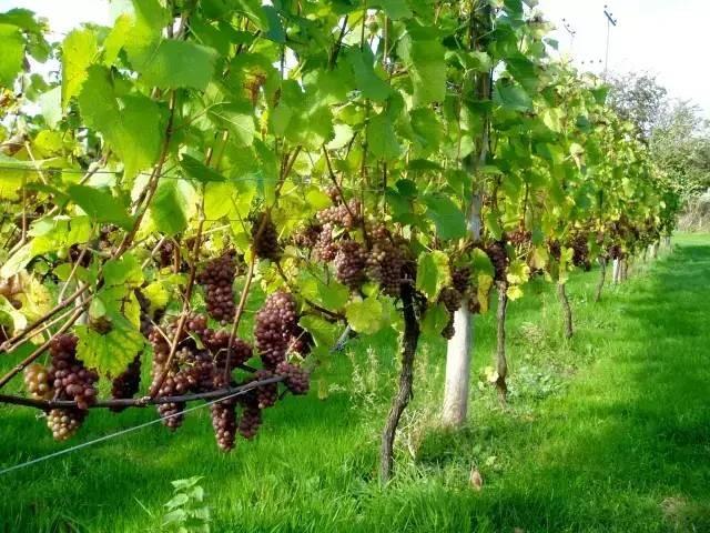 Rambatan anggur model trellis