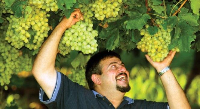 Apakah Pohon Anggur Bisa Tumbuh dan Berbuah di Daerah Saya