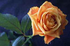 Чай из лепестков роз польза