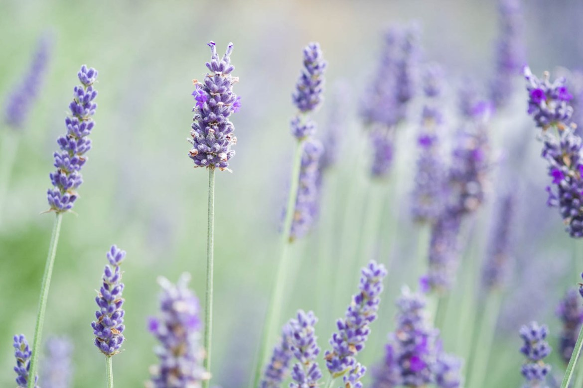 Lavender growing at Durant Vineyard's greenhouse