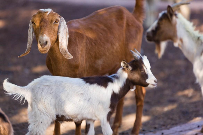 Goats at Gardner Village