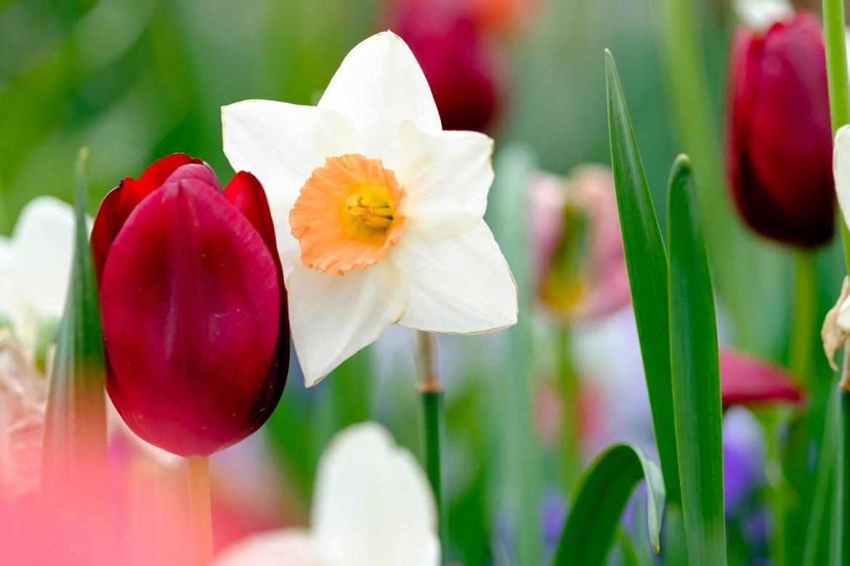 Tulip & Daffodil