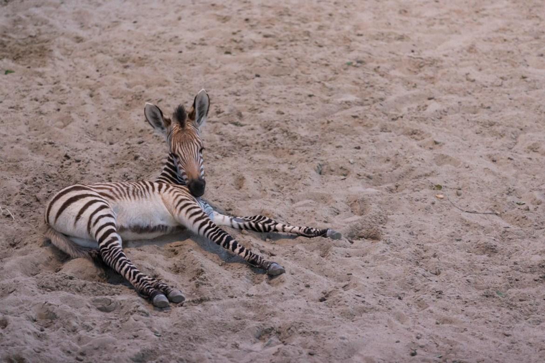 A baby zebra longs for SnapChat