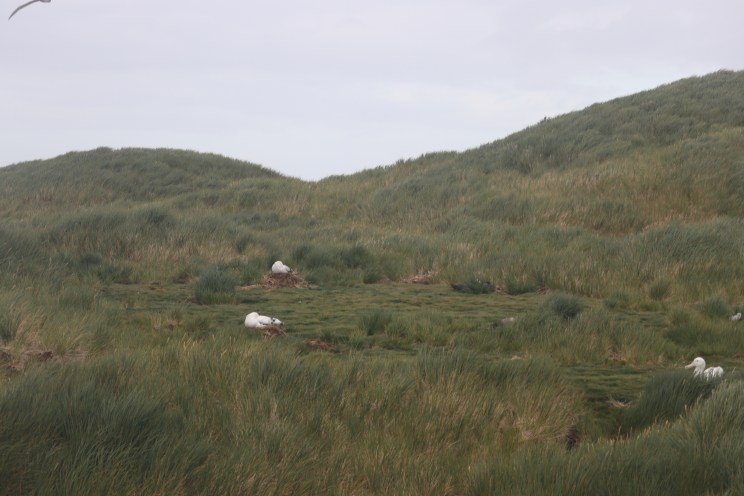Wandering Albatross on their nests!