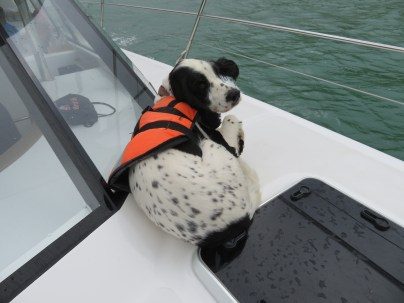 This dog is being trained to spot the Hector dolphins.