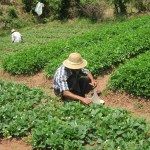 Man Working the strawberry fields near Kalaw,. The people of Myanmar.