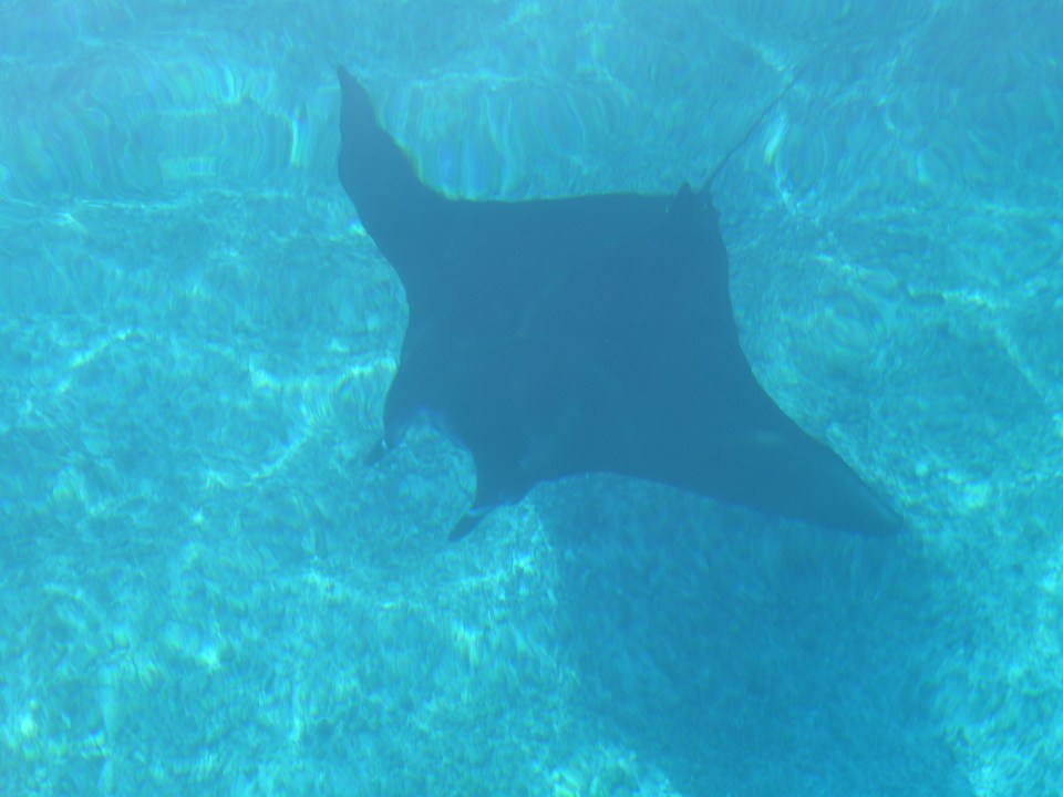 A Manta Ray swimming under the water