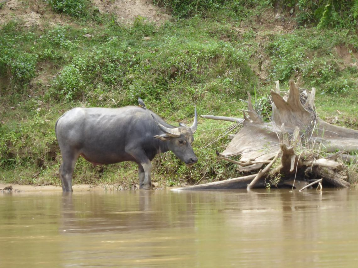 water Buffalo on the side of the river
