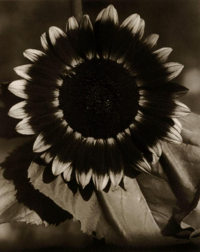 'Sunflower' Edward Steichen.jpg
