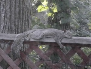 A Squirrel Exhausted from the Heat