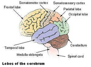 The cerebellum is largely responsible for coordinating...