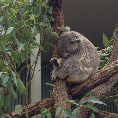 Aaron the Koala. While we watched, he yawned and rolled over. The most action he'd seen all day!