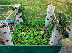 The right side is growing fast and coming in well. This is radishes, lettuce, Big Rufflespinach, peas and Sweet carrots. (not counting towers)