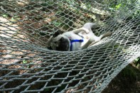Dizzy's first experience with a hammock. After his initial panic of having nothing under him he relaxed and laid there for awhile watching the trees sway.