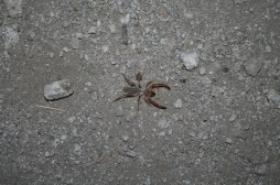 Saw a few of these guys walking through camp. Scary looking but harmless.
