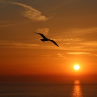 Herring Gull at sunset, North Cliffs, Cornwall 09-07-13