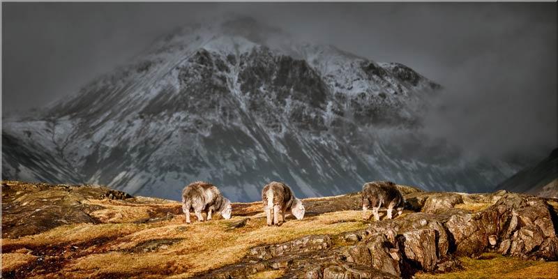 Three Sheep and a Mountain - Canvas Print