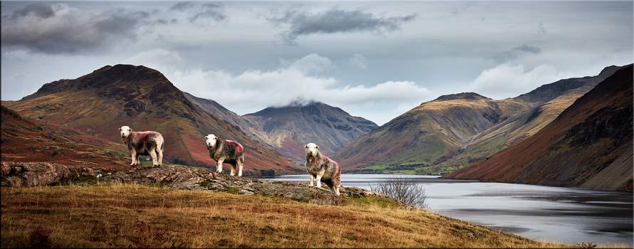 Three Sheep at Wast Water - Canvas Print