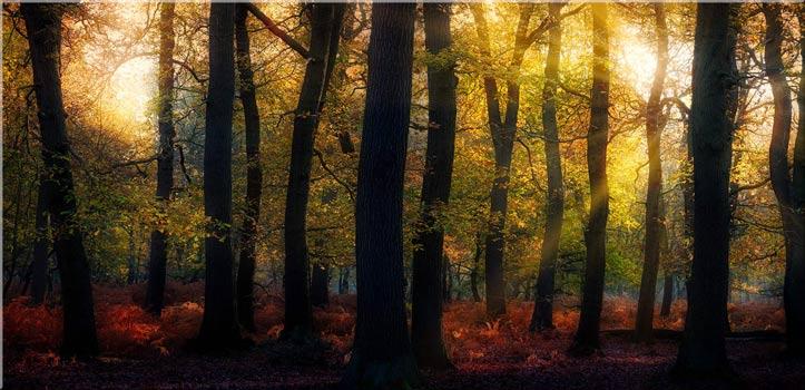 Sherwood Forest Woodland Golden Light - Canvas Print