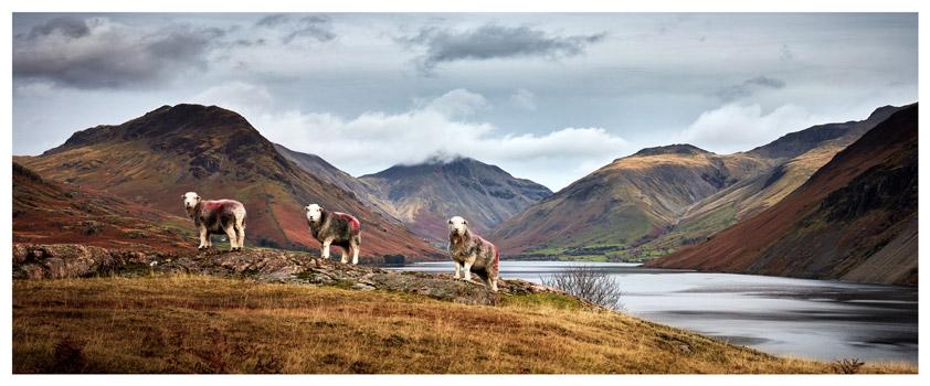 Three Sheep at Wast Water - Lake District Print