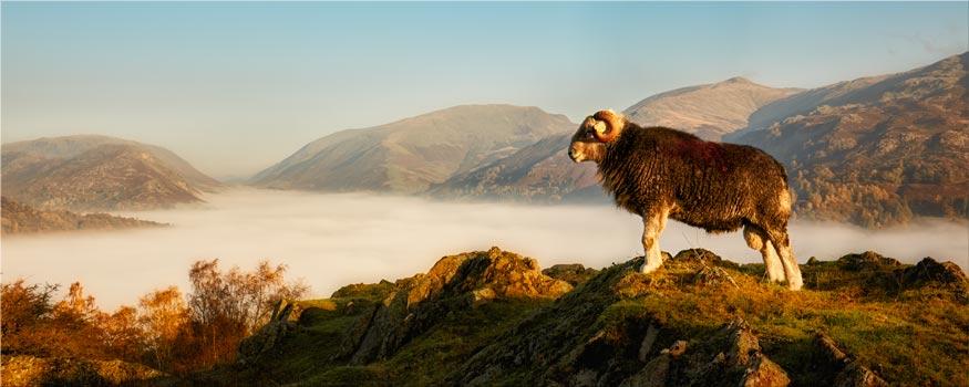 Ram at Grasmere - Lake District Canvas